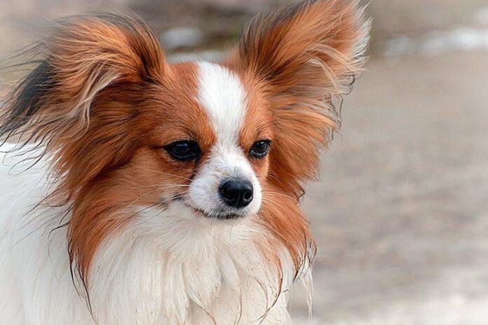 chien-papillon-avec-grandes-oreilles
