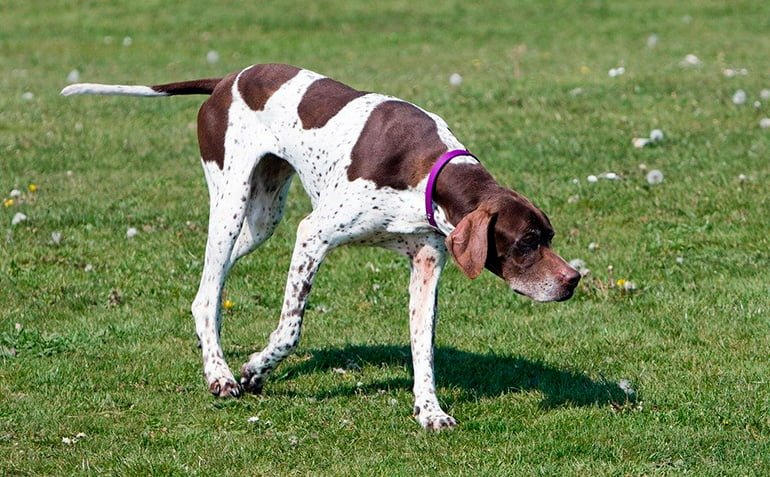 "pointer-english-sniffing ""width ="" 770 ""height ="" 477 ""srcset ="" https://soyunperro.com/wp-content/uploads/2017/10/pointer-inglés-olfateando.jpg 770w, https: // soyunperro.com/wp-content/uploads/2017/10/pointer-inglés-olfateando-300x186.jpg 300w, https://soyunperro.com/wp-content/uploads/2017/10/pointer-inglés-olfateando-768x476 .jpg 768w, https://soyunperro.com/wp-content/uploads/2017/10/pointer-inglés-olfateando-696x431.jpg 696w, https://soyunperro.com/wp-content/uploads/2017/10 /pointer-inglés-olfateando-678x420.jpg 678w, https://soyunperro.com/wp-content/uploads/2017/10/pointer-inglés-olfateando-356x220.jpg 356w ""tailles ="" (largeur max: 770px ) 100vw, 770px"
