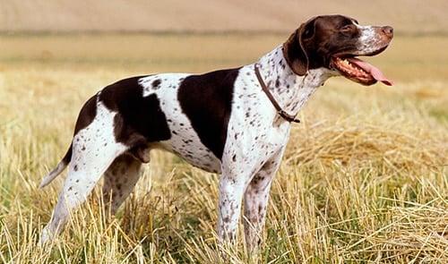 perro pointer inglés cazando