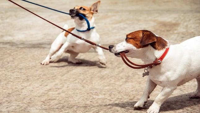 perros mordiendo la correa