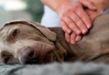 dar un masaje a un perro