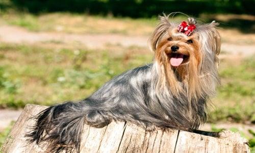 perro con mucho pelo