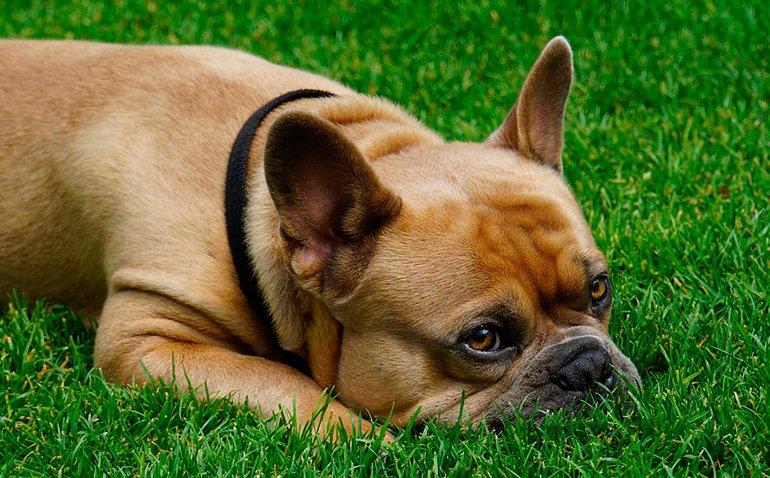 perro-que-ha-comido-hierba
