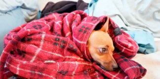 perro-resfriado-dentro-de-una-manta