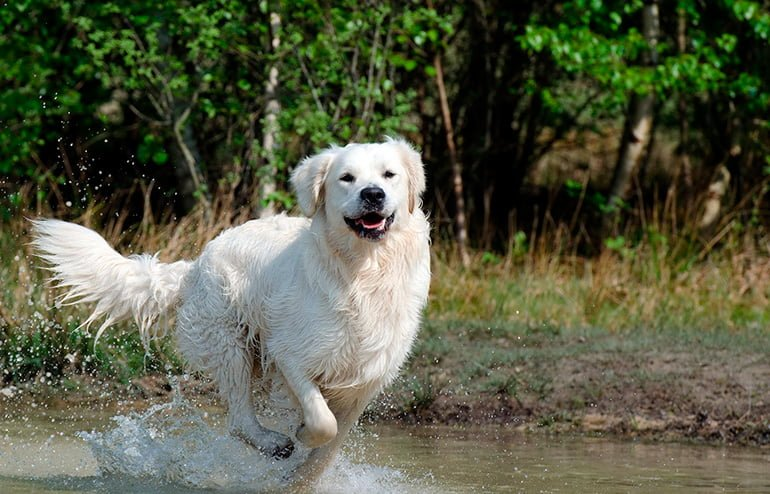 "Golden-retriever-running-on-the-water ""width ="" 770 ""height ="" 494 ""srcset ="" https://soyunperro.com/wp-content/uploads/2018/01/Golden-retriever- running-on -el-agua.jpg 770w, https://soyunperro.com/wp-content/uploads/2018/01/Golden-retriever-corrando-sobre-el-agua-300x192.jpg 300w, https://soyunperro.com /wp-content/uploads/2018/01/Golden-retriever-corrando-sobre-el-agua-768x493.jpg 768w, https://soyunperro.com/wp-content/uploads/2018/01/Golden-retriever- courir-sur-l'eau-696x447.jpg 696w, https://soyunperro.com/wp-content/uploads/2018/01/Golden-retriever-corjando-sobre-el-agua-655x420.jpg 655w ""tailles = ""(largeur max: 770px) 100vw, 770px"