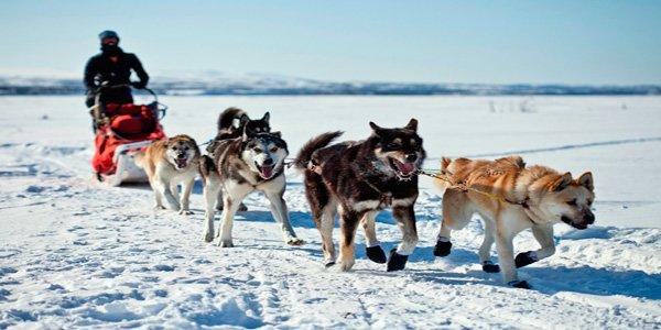 Grupo de perros Alaskan Malamute tirando de un trineo