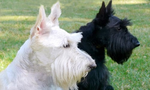 Scottish terrier adulto2