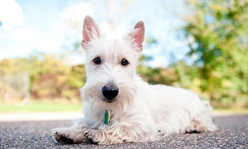 Scottish terrier cachorro blanco