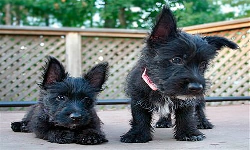 Scottish terrier cachorro2