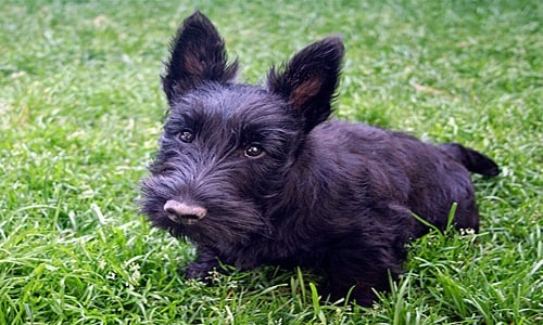 Scottish terrier cachorro3