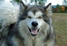 alaskan perro