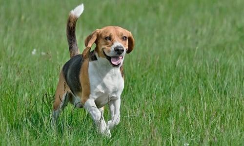 beagle cazando