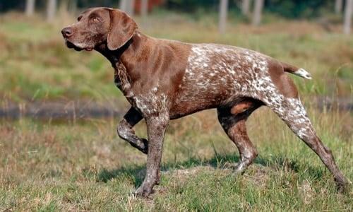 perro braco aleman de pelo corto