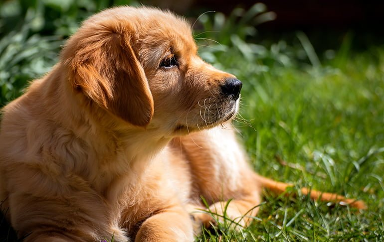 "golden-retriever-puppy ""width ="" 770 ""height ="" 486 ""srcset ="" https://soyunperro.com/wp-content/uploads/2018/01/cachorro-de-golden-retriever.jpg 770w, https://soyunperro.com/wp-content/uploads/2018/01/cachorro-de-golden-retriever-300x189.jpg 300w, https://soyunperro.com/wp-content/uploads/2018/01/cachorro -de-golden-retriever-768x485.jpg 768w, https://soyunperro.com/wp-content/uploads/2018/01/cachorro-de-golden-retriever-696x439.jpg 696w, https://soyunperro.com /wp-content/uploads/2018/01/cachorro-de-golden-retriever-665x420.jpg 665w ""tailles ="" (largeur max: 770px) 100vw, 770px"