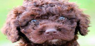 cachorro de perro de agua