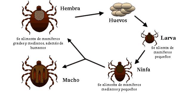 ciclo de la garrapata