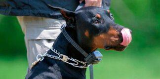 perro con collar eléctrico