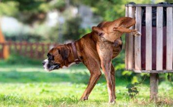 perro hace pipi