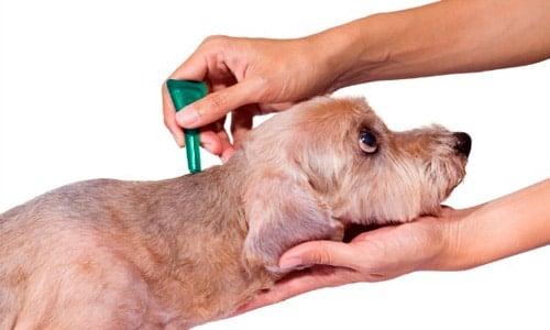 pipeta para perro