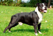 American-Staffordshire-Terrier-en-el-jardín
