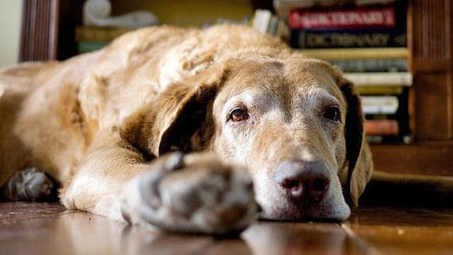 alzheimer perro