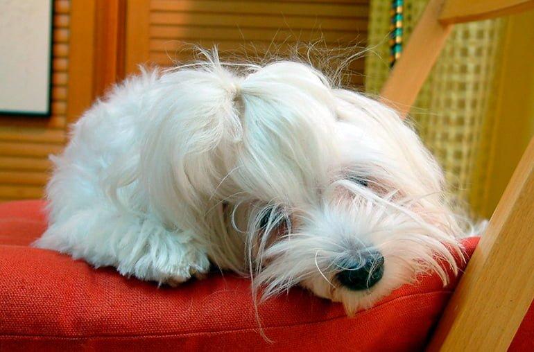 bichón-maltés-durmiendo-en-una-silla