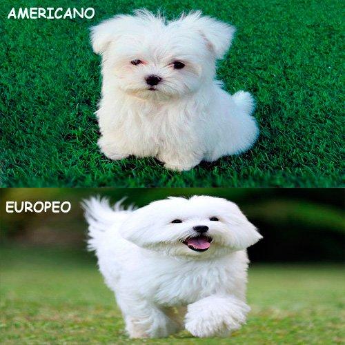 bichon-americano-vs-europeo
