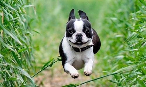 boston terrier corriendo
