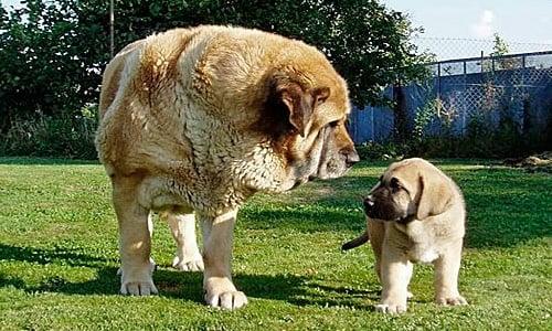 cachorro de mastin español
