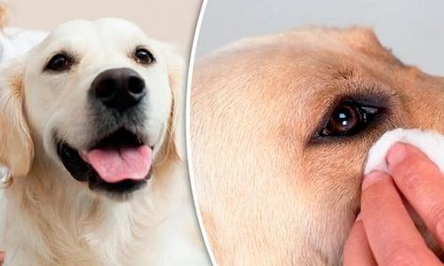 cuidar ojos de perro con cataratas