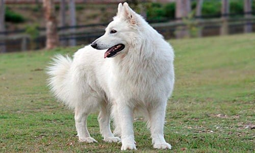 perro pastor suizo