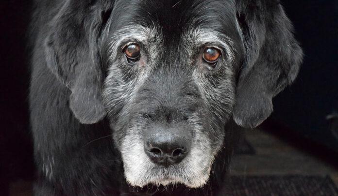 perro-anciano