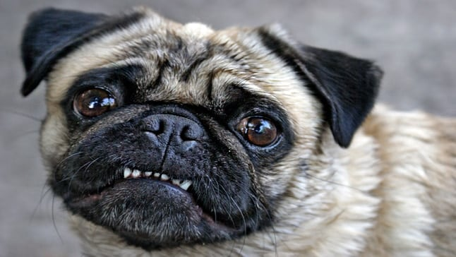 perro con babeosis