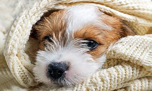 perro con el virus de la neumonia