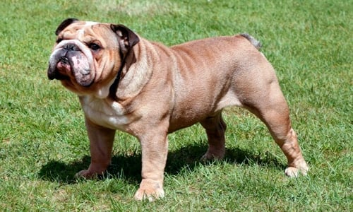 perro con piedras de rinon