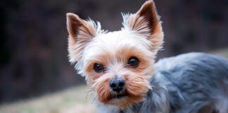 perro-de-raza-yorkshire-terrier