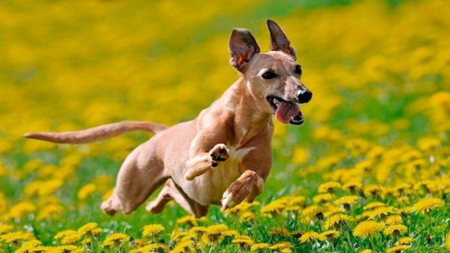 perro jugando con flores