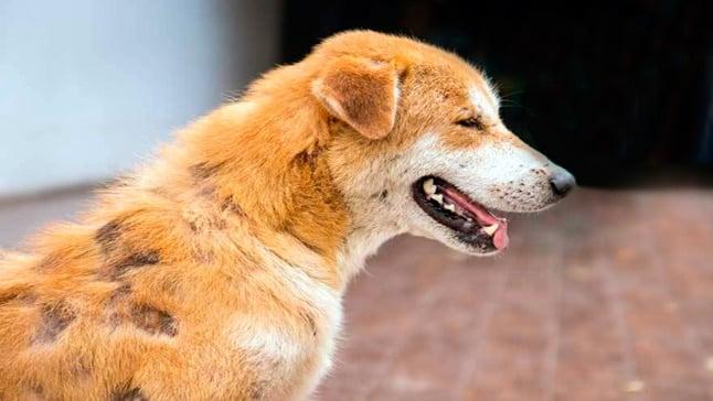 Tiña En Perros Causas Síntomas Y Los Mejores Tratamientos
