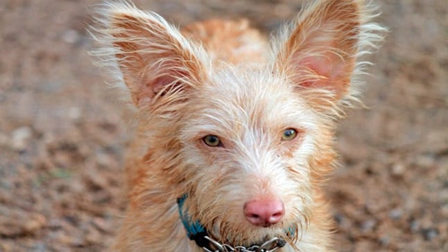 "podenco portugues ""width ="" 500 ""height ="" 282 ""srcset ="" https://soyunperro.com/wp-content/uploads/2018/02/podenco-portugues.jpg 646w, https://soyunperro.com/wp -content / uploads / 2018/02 / podenco-portugues-300x169.jpg 300w ""tailles ="" (largeur max: 500px) 100vw, 500px"