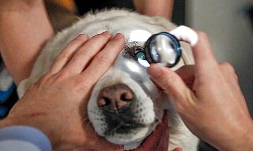 revisando ojo del perro