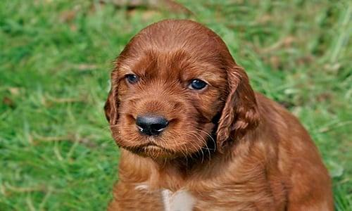 setter irlandes cachorro