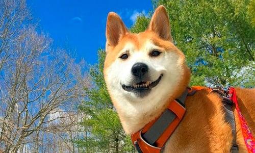 perro de raza shiba