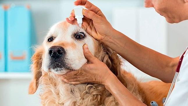 thelazia en un perro
