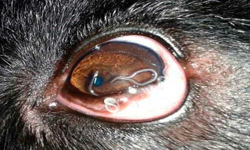 thelazia en ojo de perro