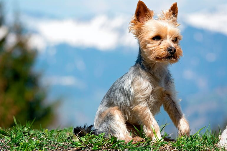 "yorkshire-terrier-with-hair-cut ""width ="" 770 ""height ="" 513 ""srcset ="" https://soyunperro.com/wp-content/uploads/2018/02/yorkshire-terrier-con-el -pelo-corte.jpg 770w, https://soyunperro.com/wp-content/uploads/2018/02/yorkshire-terrier-con-el-pelo-cortado-300x200.jpg 300w, https://soyunperro.com /wp-content/uploads/2018/02/yorkshire-terrier-con-el-pelo-cortado-768x512.jpg 768w, https://soyunperro.com/wp-content/uploads/2018/02/yorkshire-terrier- with-the-hair-cut-696x464.jpg 696w, https://soyunperro.com/wp-content/uploads/2018/02/yorkshire-terrier-con-el-pelo-cortado-630x420.jpg 630w ""tailles = ""(largeur max: 770px) 100vw, 770px"