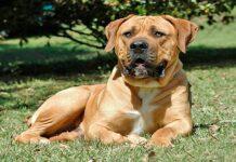 perro Boerboel