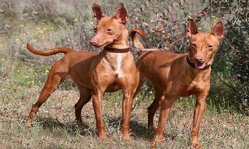 perros Cirnecos
