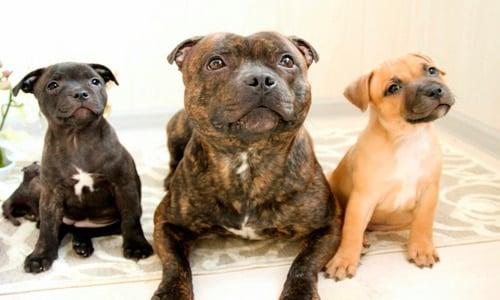 Staffordshire-Bull-Terrier-cachorros