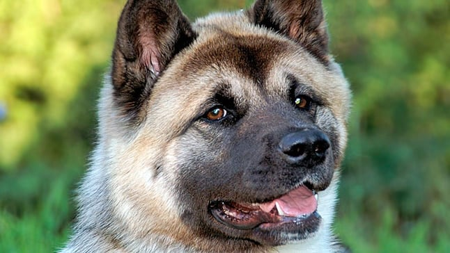 "Akita américain ""width ="" 500 ""height ="" 282 ""srcset ="" https://soyunperro.com/wp-content/uploads/2018/03/akita-americano2.jpg 646w, https://soyunperro.com/wp -contenu / uploads / 2018/03 / akita-americano2-300x169.jpg 300w ""tailles ="" (largeur max: 500px) 100vw, 500px"