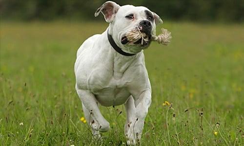 bulldog americano adulto